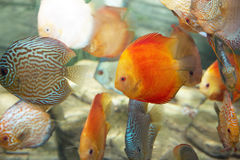 Group of tropical fishes Stock Images