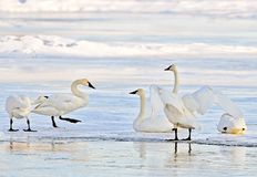 Group of Trumpeter Swans resting on river Ice, late winter. stock photo