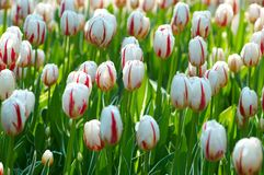 Group of tulip flowers Royalty Free Stock Photography
