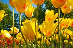 Group of tulip flowers Stock Images