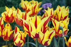 A group of tulip flowers with sharp yellow-red leaves. On a blur background of the garden royalty free stock photo