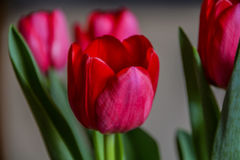Group of tulips royalty free stock photos