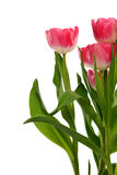 Group of Tulips Royalty Free Stock Images
