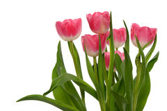 Group of Tulips Stock Photography