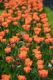 Group of pink tulips in the park agains blue sky Stock Image