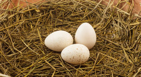 Group of turkey eggs on brown hay Stock Photography