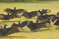Group of Turkey Vultures in a field Royalty Free Stock Images