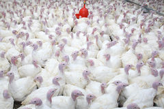 Group of turkeys. At farm Stock Image
