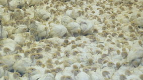 Group of turkeys at farm. Little chicks. Shot in Full HD - 1920x1080, 30fps stock video