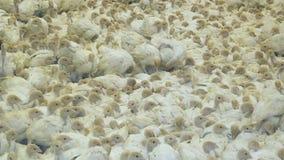 Group of turkeys at farm. Little chicks. stock video