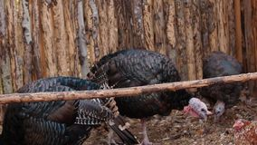 Group turkeys stock video footage