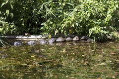 Group of turtle in a small lake Royalty Free Stock Photo