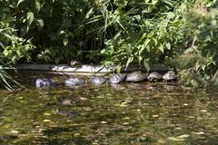 Group of turtle in a small lake Stock Photo