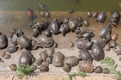Group of turtle in the Turtle Pool . Stock Image