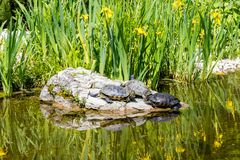 Group of turtles basking on a rock, Vienna, Austria royalty free stock images