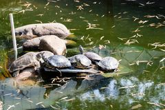 A group of turtles basking on the stone. The turtle got out of the water of an artificial reservoir and lies on a stone. stock photography