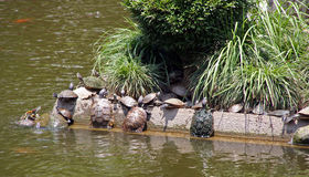 Group of turtles climb the bank of lake Royalty Free Stock Photography