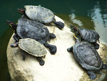 Group of turtles on a dry rock stock images