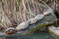 Group of turtles enjoy on sun Royalty Free Stock Image