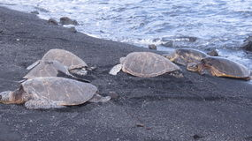 Group of turtles in Hawaii. Group of turtles on Hawaii black sands beach Stock Photography
