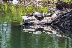 Group of turtles on a log royalty free stock image