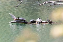 Group of turtles on a log stock photos