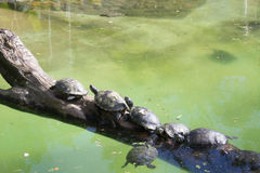 Group of turtles next to the water pond. Stock Photo