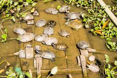 Group of turtles in the pond. Stock Image