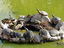 Group of turtles red eared slider. Turtles that were out in the sun .I placed on a circle of stones in the middle of a lake stock photography