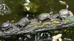 Group of turtles resting on log stock video footage