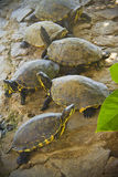 Group of turtles Royalty Free Stock Photography