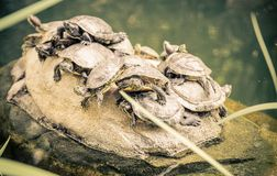 Group of turtles on a rock Stock Images