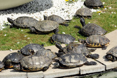 Group of turtles sunning themselves Royalty Free Stock Photo