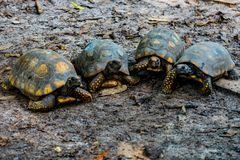 Turtles walking towards camera stock photography