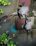 Group of turtles Stock Photography