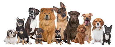Group of twelve dogs. Sitting in front of a white background Stock Images