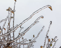 Group of twigs with leaves  engulfed with deep layer of ice Royalty Free Stock Photo