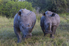 A group of two rhinos Stock Photos