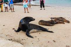 Group of unidentified tourists watching a group of sea lions. On the beach of Galapagos Stock Photography
