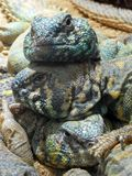 A group of uromastix ornata. A group of cute colourful uromastix ornata Royalty Free Stock Photos