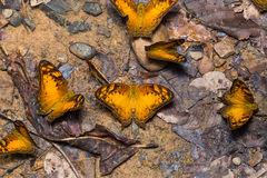 Group of Vagrant butterflies Royalty Free Stock Images