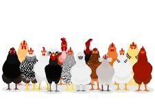 Various chicken group. Group of various breeds of chicken on white, standing front vector illustration