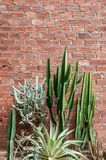 Group of various cactus, agave with sharp spike and old red bric. K wall vertical image with copy space Stock Photography