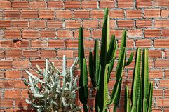 A Group of various cactus with sharp spike and old red brick wal. L horizontal image with copy space Stock Images