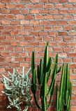 A Group of various cactus with sharp spike and old red brick wal. L vertical image with copy space Stock Image