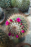 Group of various ornamental cacti Royalty Free Stock Images