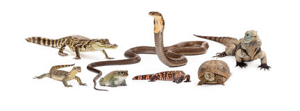 Group of Various Reptiles. Group of reptiles including an asian water monitor, baby crocodile, desert toad, cobra, gila monster, box turtle and Grand Cayman Blue royalty free stock photos