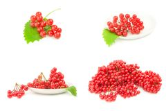 Group of viburnum berries. Set of red berries of viburnum  on white Stock Photography