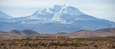 Group of Vicuna on the Altiplano Stock Photography