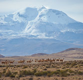 Group of Vicuna on the Altiplano Stock Image